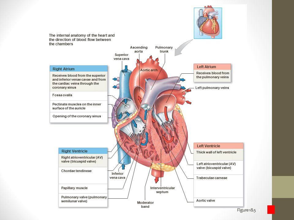 The internal anatomy of the heart and