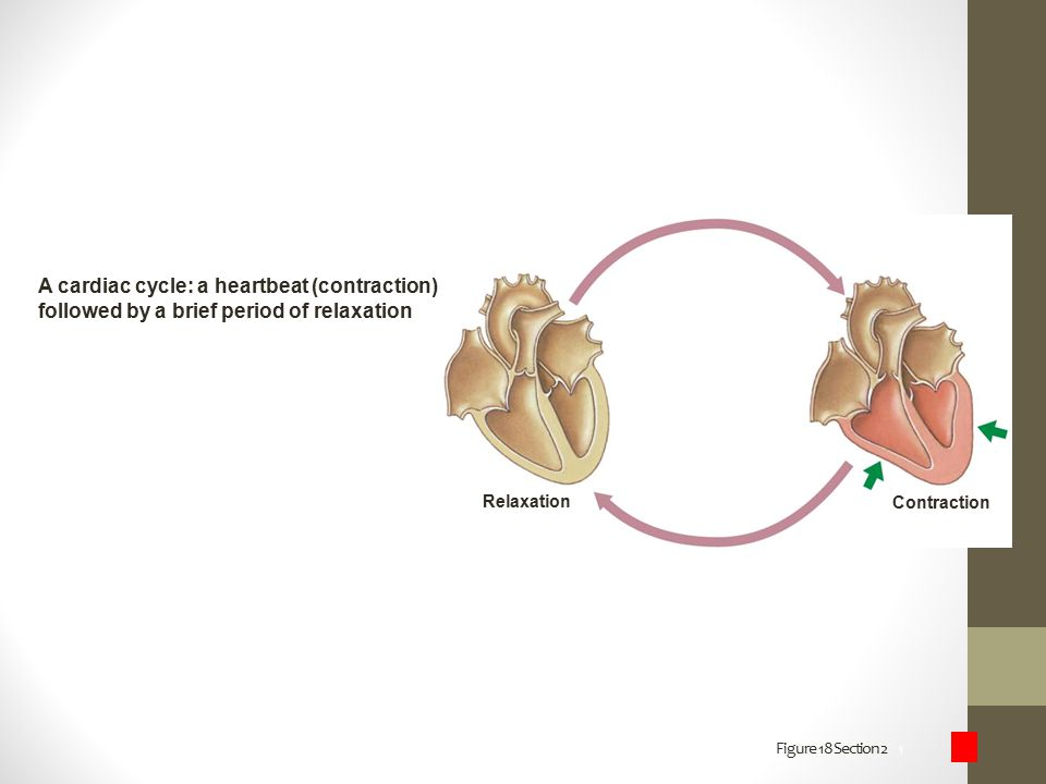 A cardiac cycle: a heartbeat (contraction)