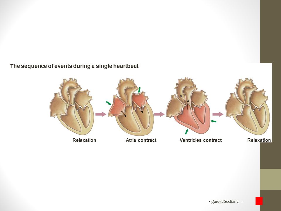 The sequence of events during a single heartbeat