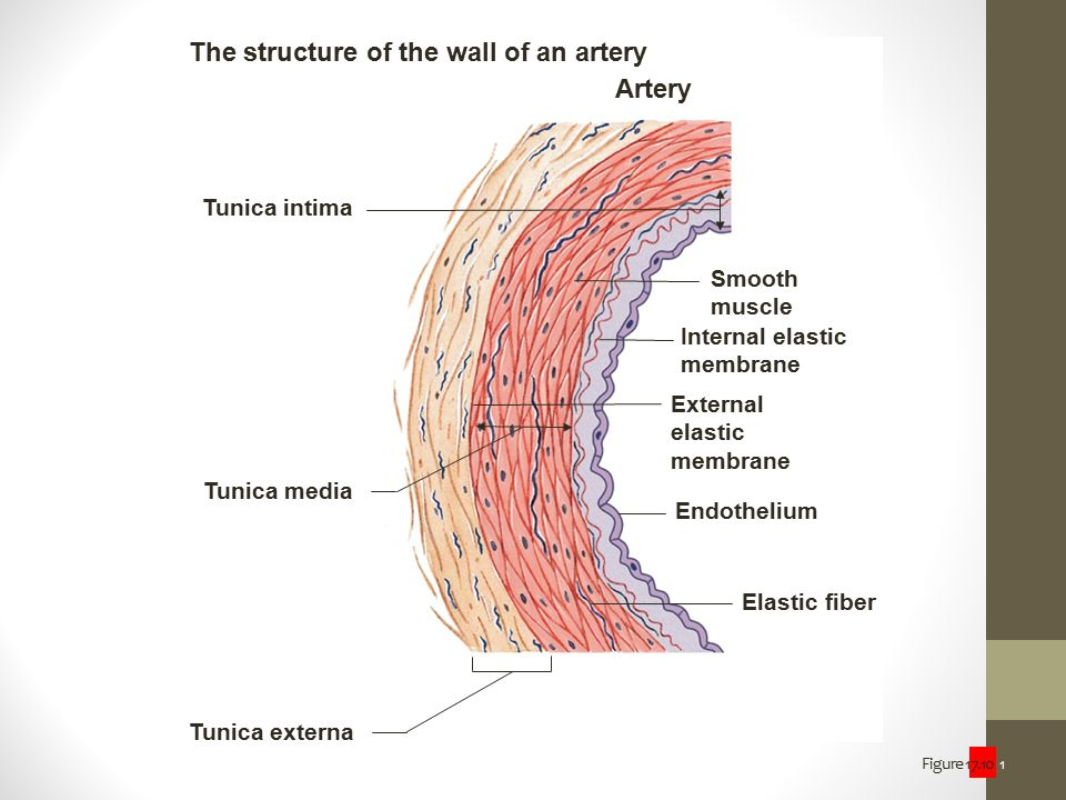 The structure of the wall of an artery Artery
