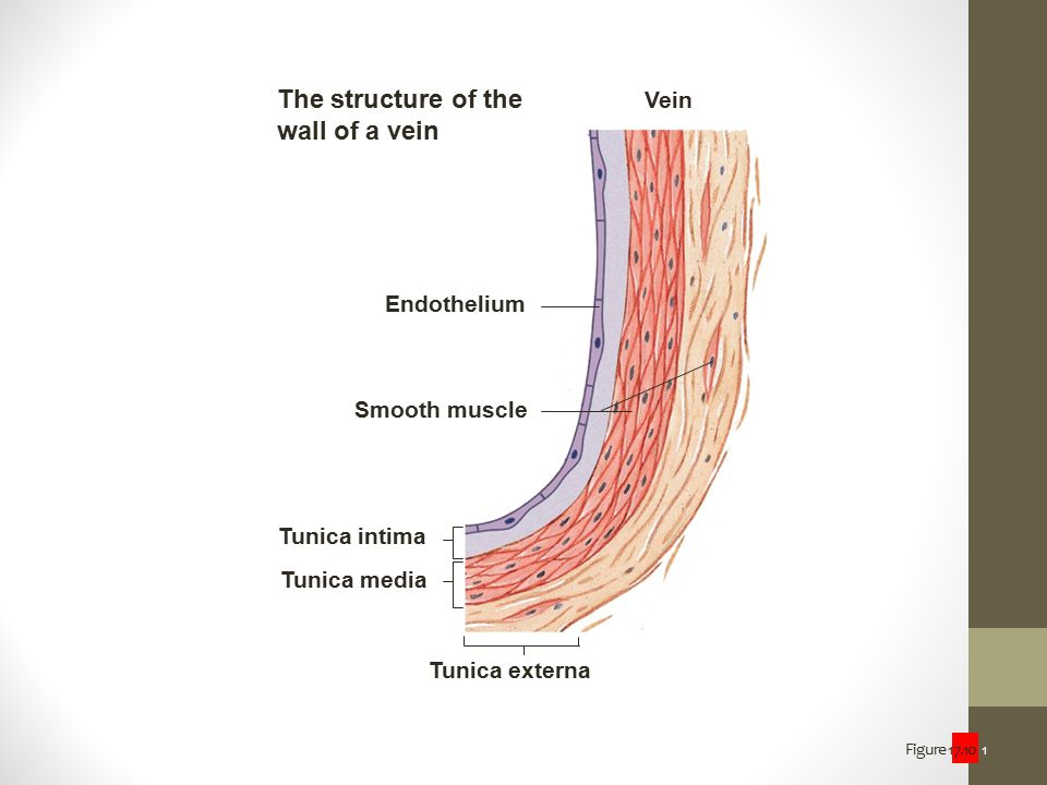 The structure of the wall of a vein Vein Endothelium Smooth muscle