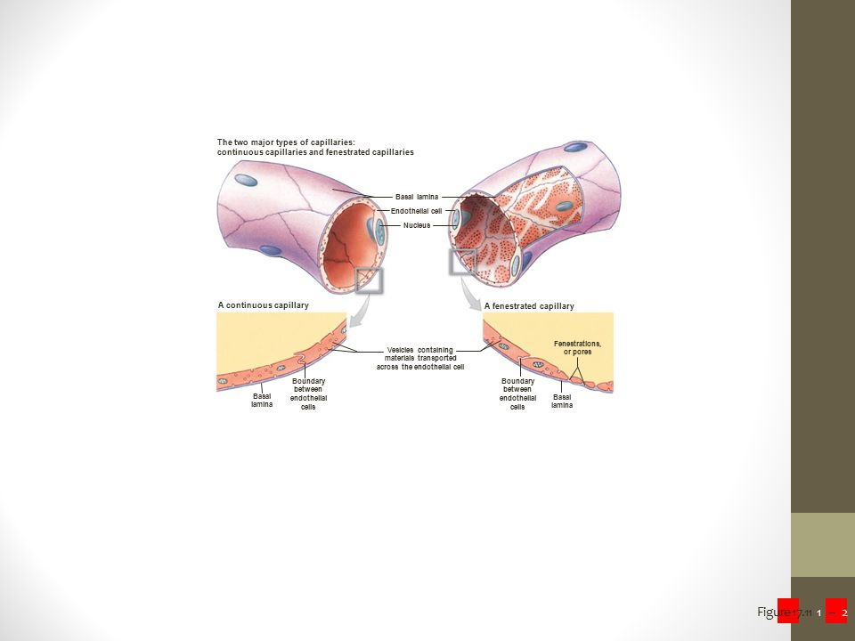 materials transported across the endothelial cell