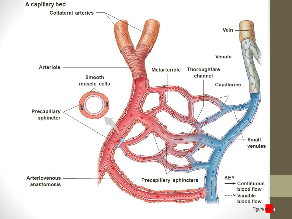 A capillary bed Collateral arteries Vein Venule Arteriole Metarteriole
