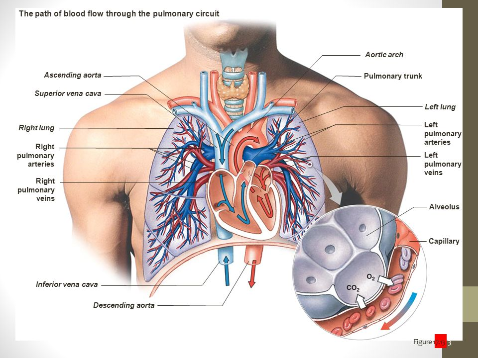 The path of blood flow through the pulmonary circuit