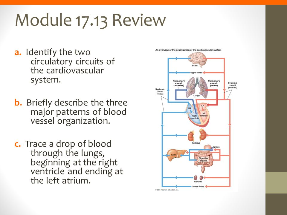 Module 17.13 Review a. Identify the two circulatory circuits of the cardiovascular system.