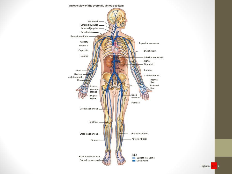 An overview of the systemic venous system
