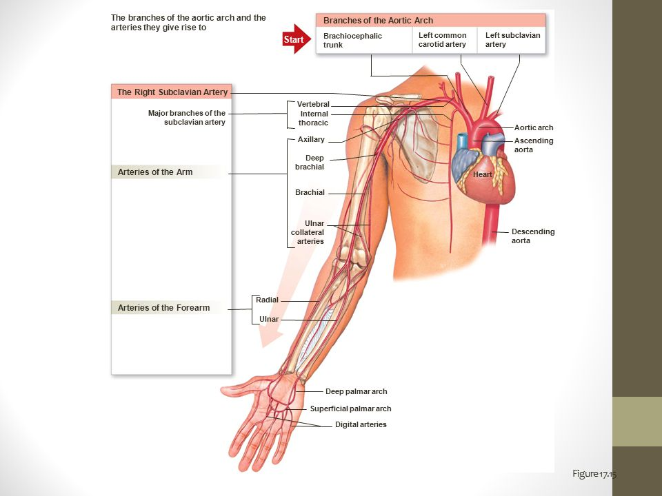 The branches of the aortic arch and the