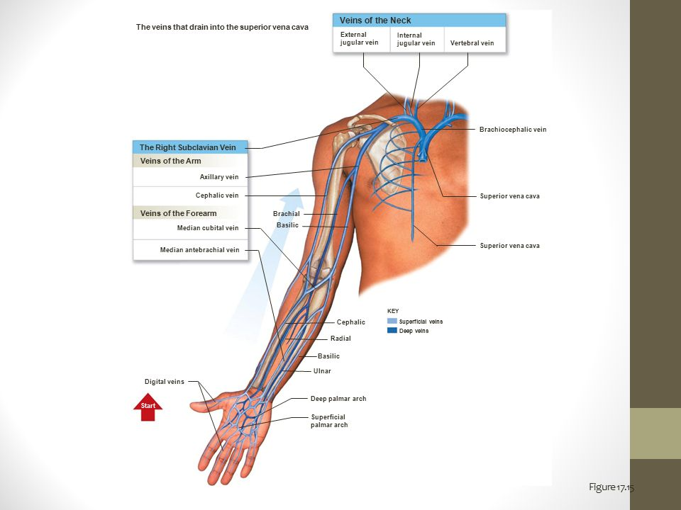 blood and blood vessels - ppt download, Cephalic Vein