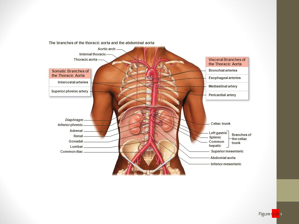 The branches of the thoracic aorta and the abdominal aorta