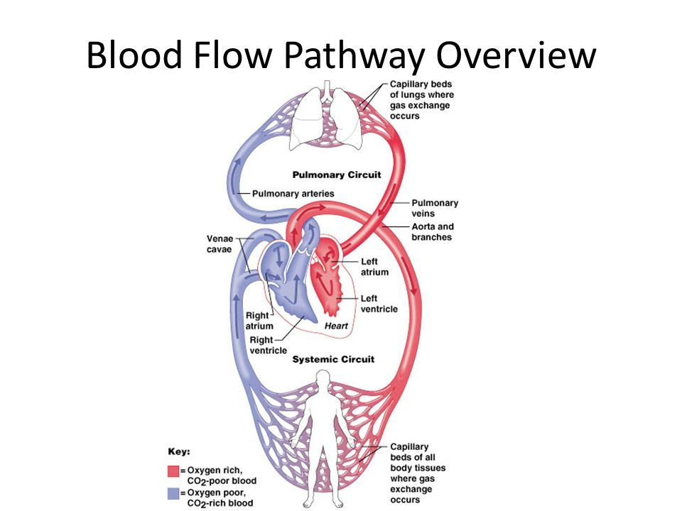 Blood Flow Pathway Overview