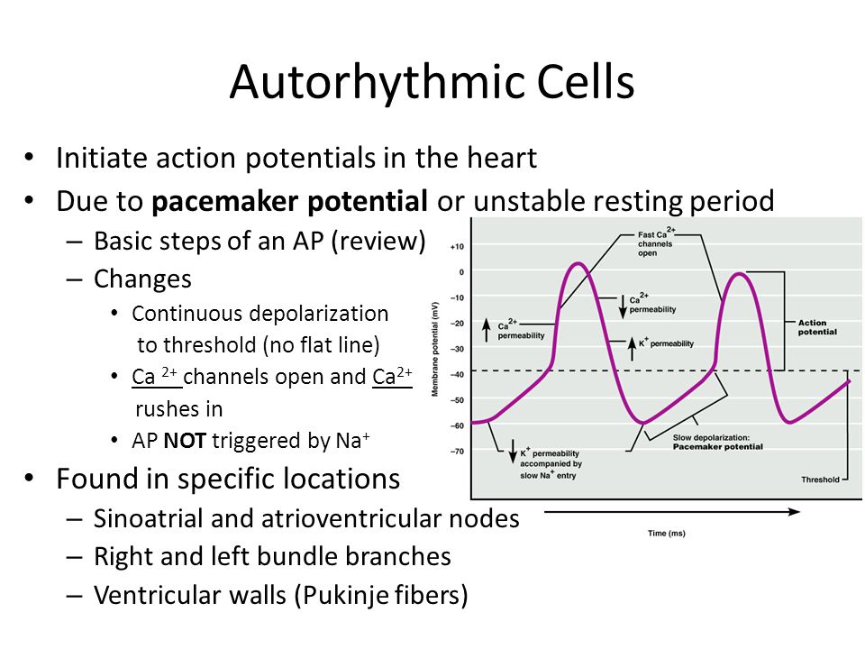 Autorhythmic Cells Initiate Action Potentials In The Heart