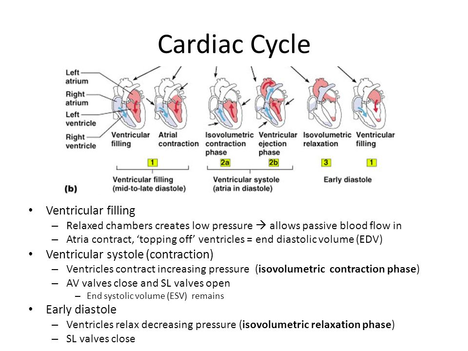 Cardiac Cycle Ventricular filling Ventricular systole (contraction)