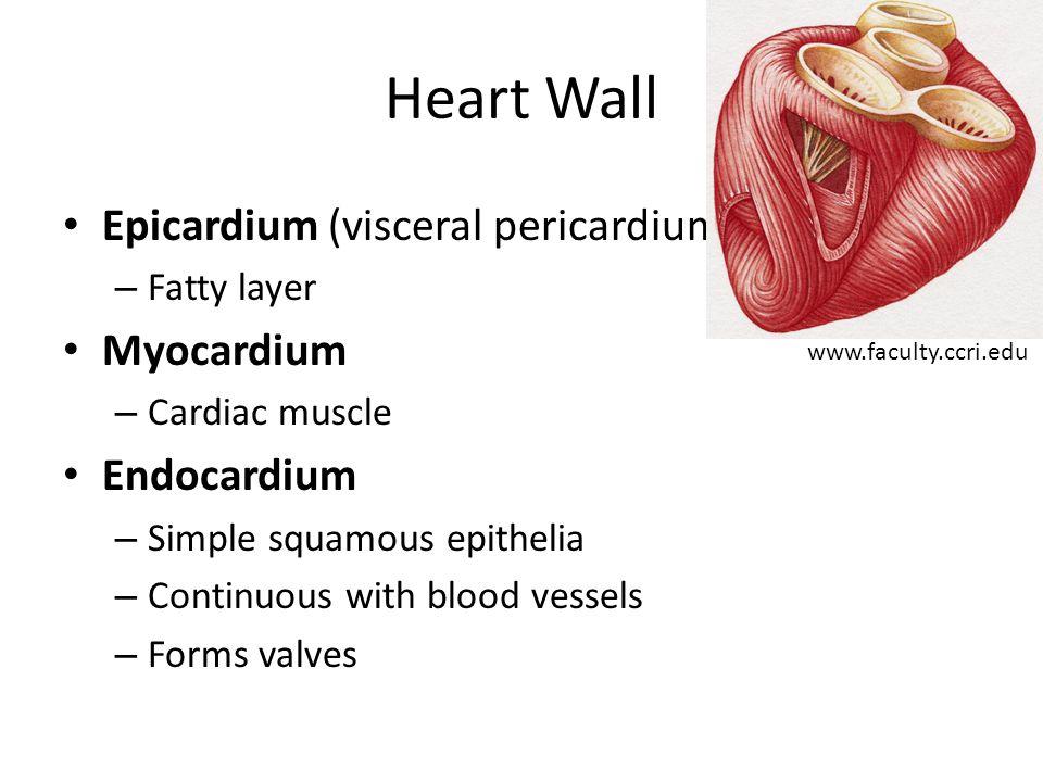 Heart Wall Epicardium (visceral pericardium) Myocardium Endocardium