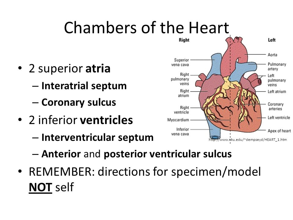 Chambers of the Heart 2 superior atria 2 inferior ventricles