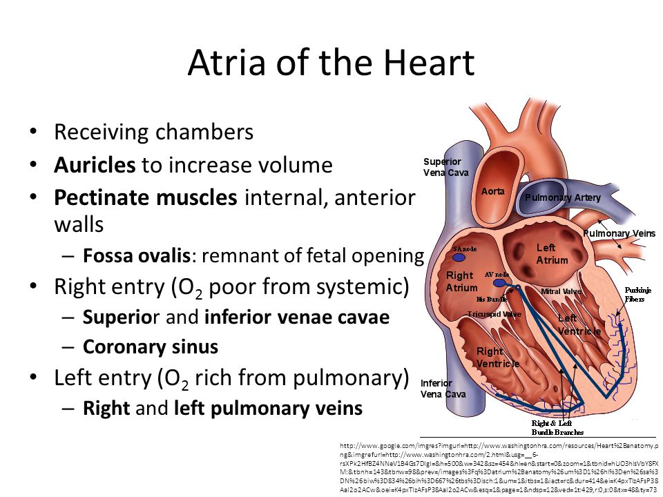 Atria of the Heart Receiving chambers Auricles to increase volume