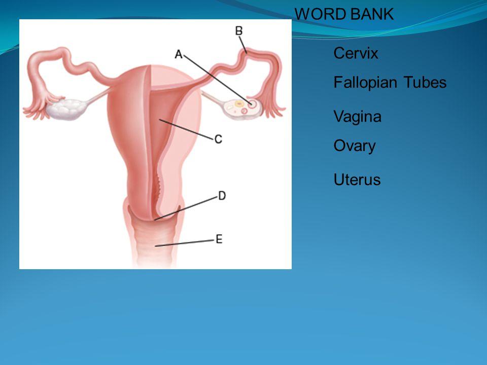WORD BANK Cervix Fallopian Tubes Vagina Ovary Uterus