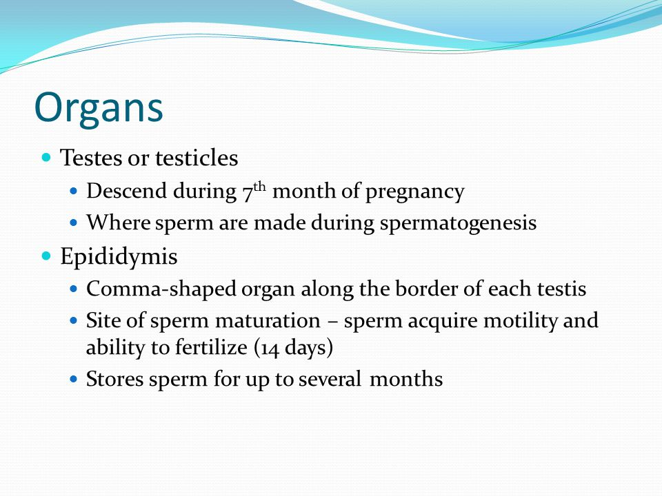 Organs Testes or testicles Epididymis
