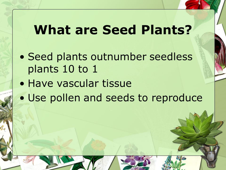 What are Seed Plants Seed plants outnumber seedless plants 10 to 1