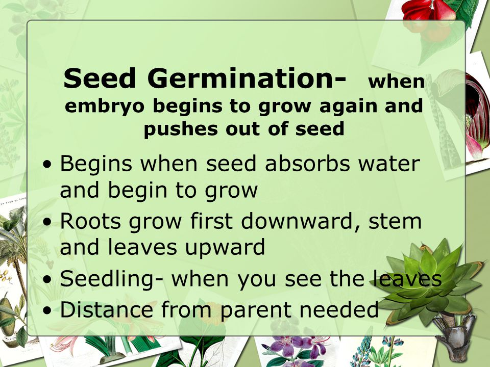 Seed Germination- when embryo begins to grow again and pushes out of seed
