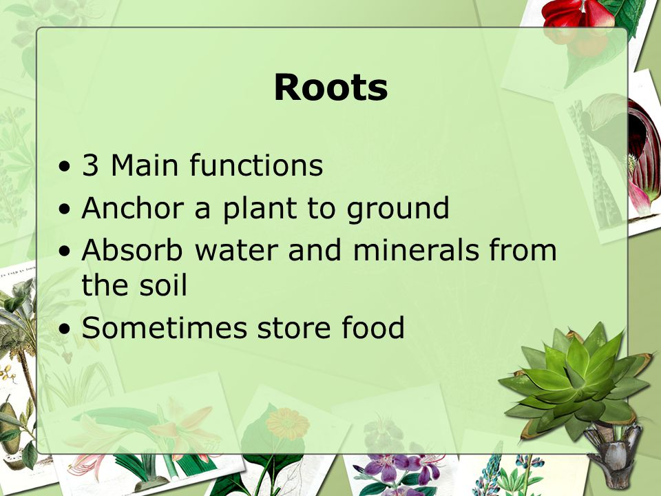 Roots 3 Main functions Anchor a plant to ground