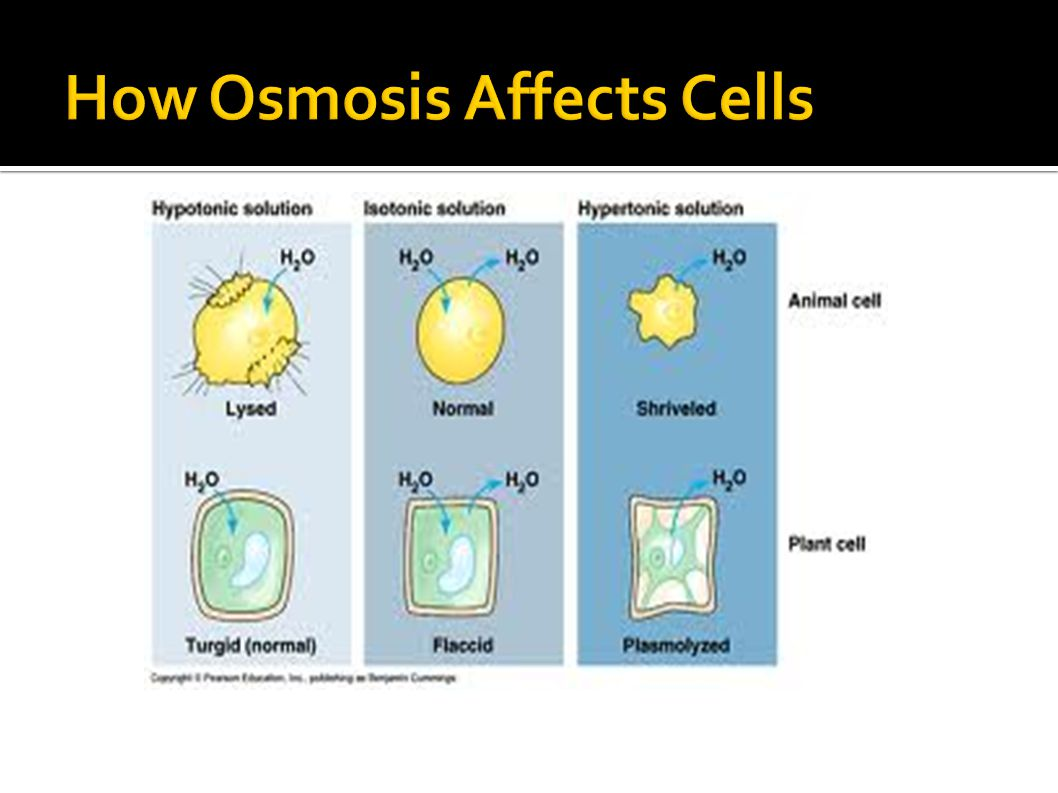 How Osmosis Affects Cells
