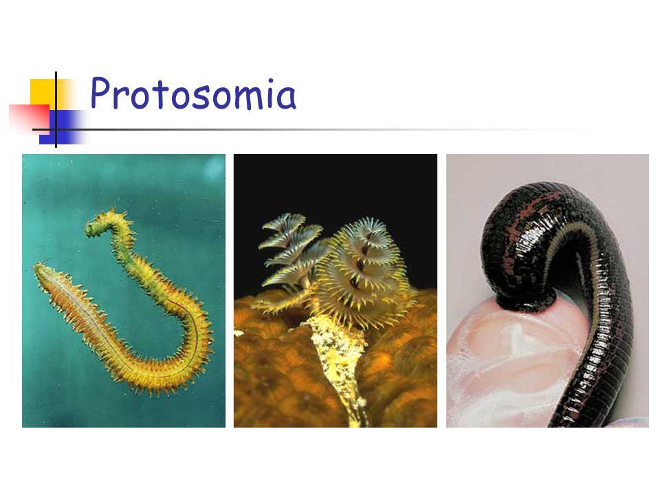 Protosomia