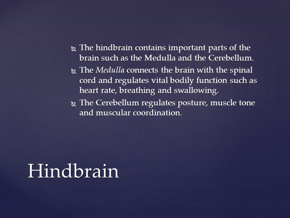 The hindbrain contains important parts of the brain such as the Medulla and the Cerebellum.