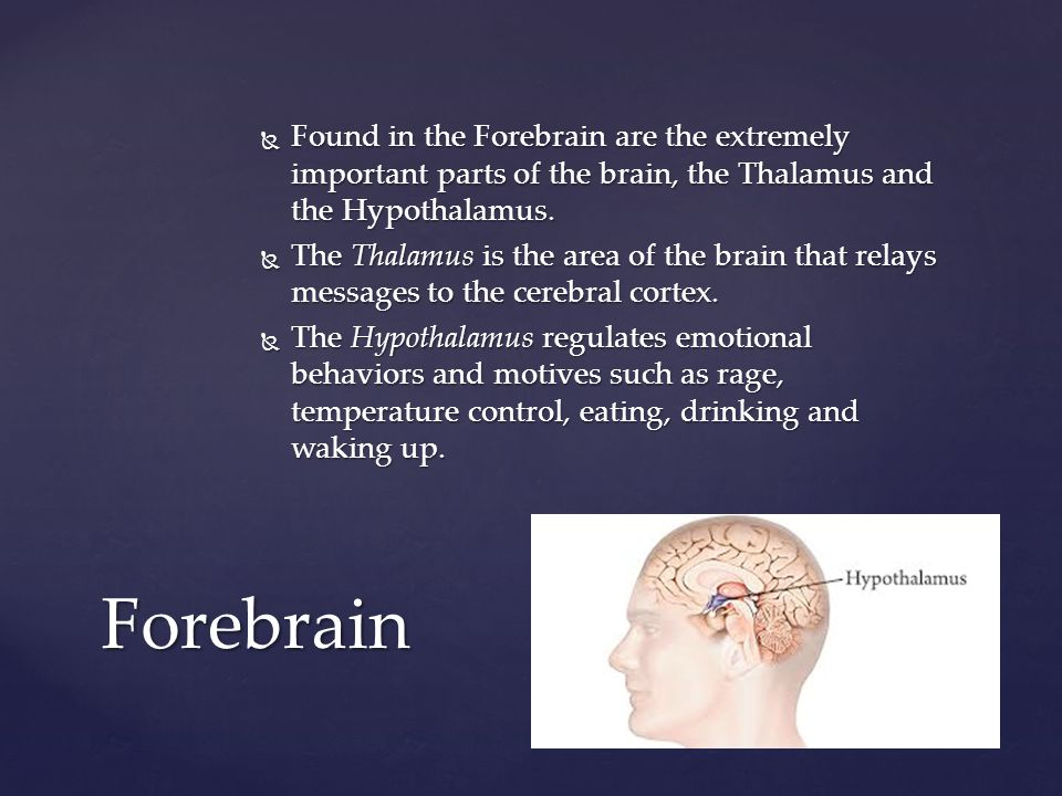 Found in the Forebrain are the extremely important parts of the brain, the Thalamus and the Hypothalamus.
