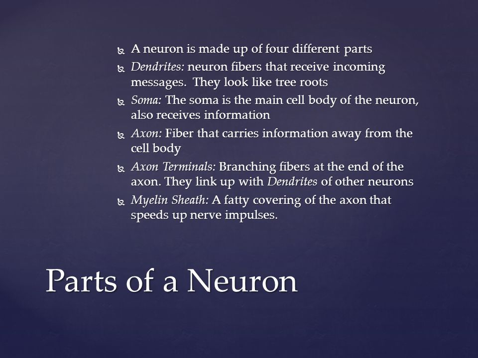 Parts of a Neuron A neuron is made up of four different parts