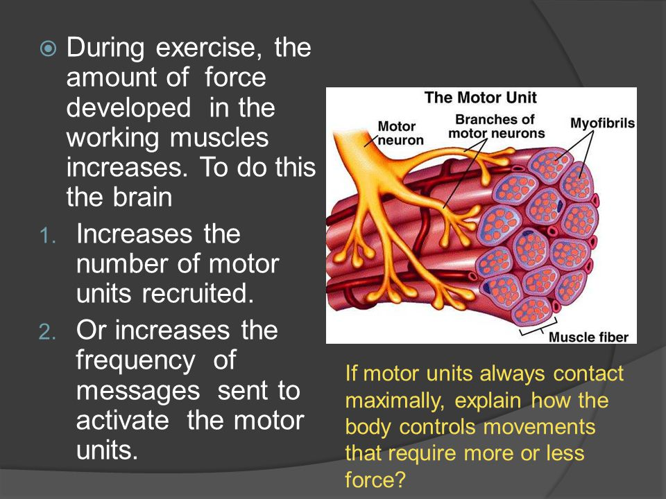 Increases the number of motor units recruited.