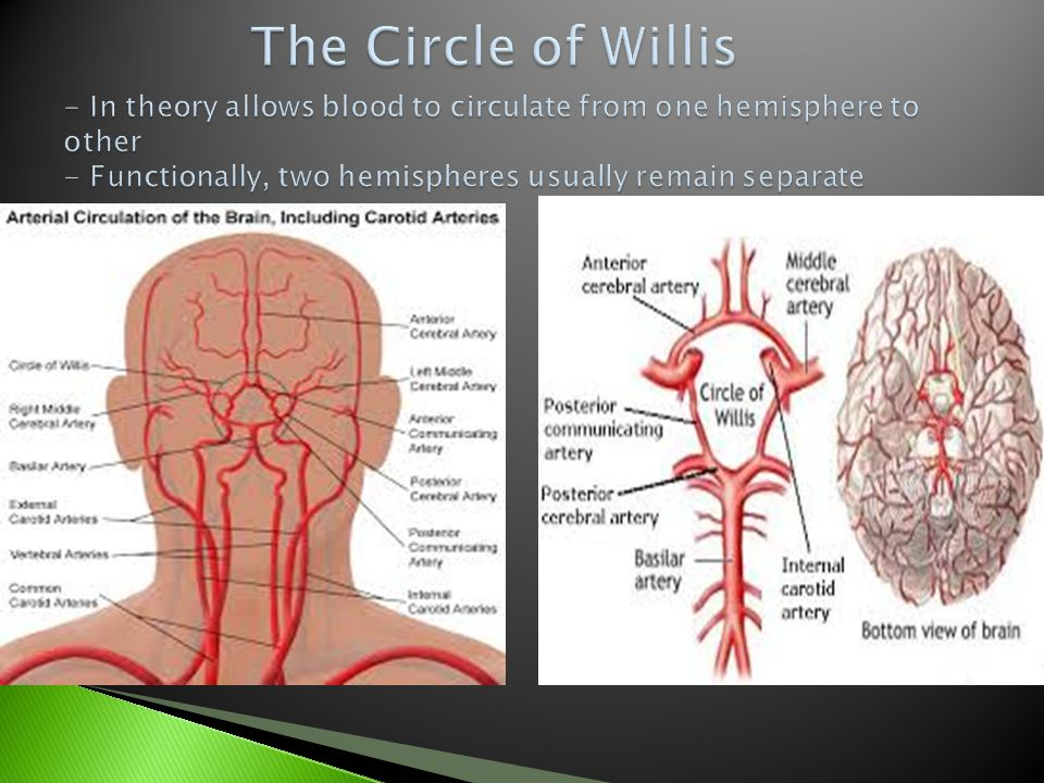 The Circle of Willis - In theory allows blood to circulate from one hemisphere to other - Functionally, two hemispheres usually remain separate