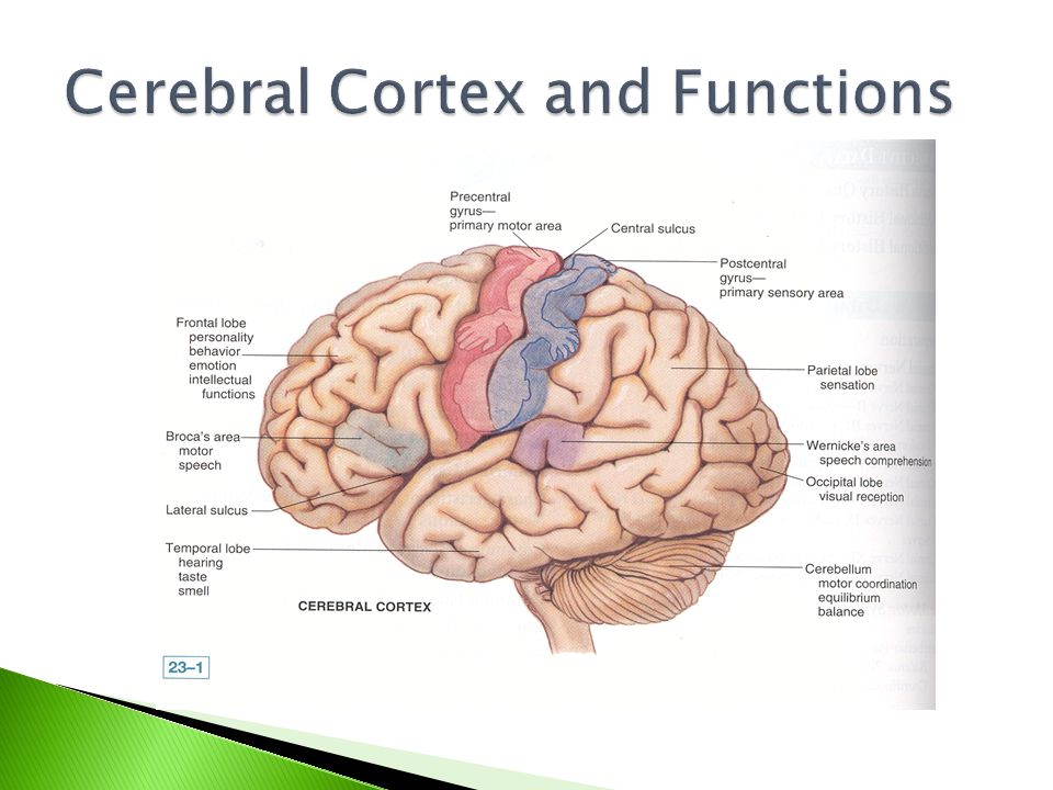 Cerebral Cortex and Functions