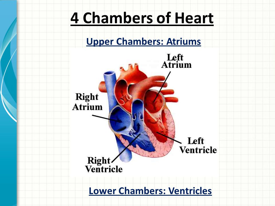 4 Chambers of Heart Upper Chambers: Atriums Lower Chambers: Ventricles