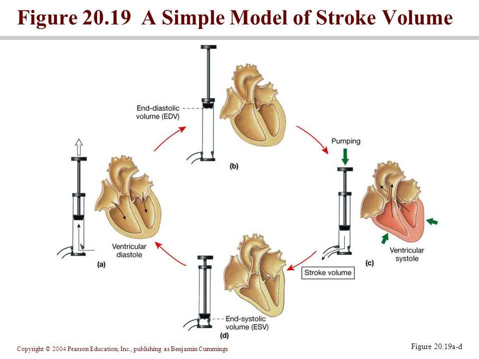 Figure 20.19 A Simple Model of Stroke Volume