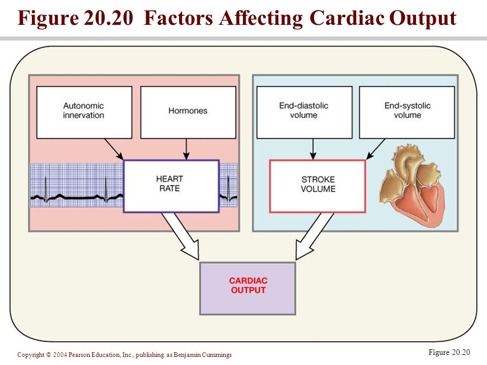 Figure 20.20 Factors Affecting Cardiac Output