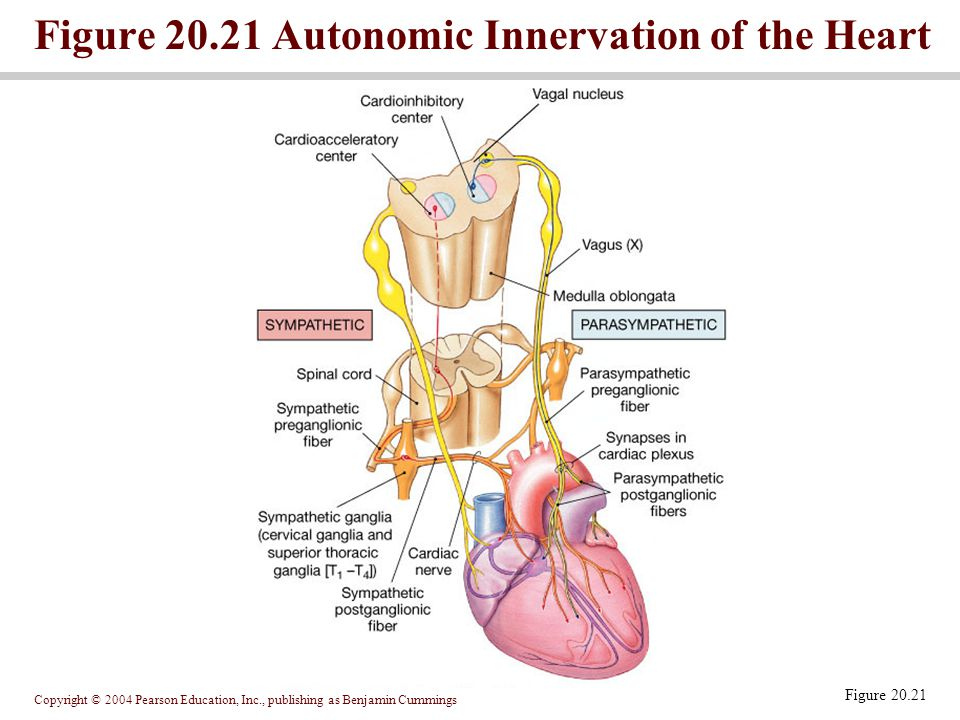Figure 20.21 Autonomic Innervation of the Heart