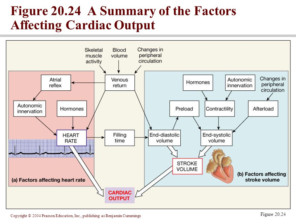 Figure 20.24 A Summary of the Factors Affecting Cardiac Output