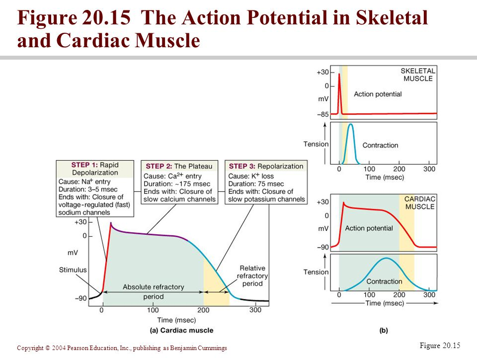 Figure 20.15 The Action Potential in Skeletal and Cardiac Muscle