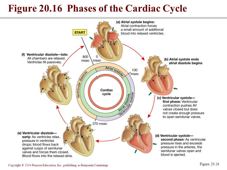 Figure 20.16 Phases of the Cardiac Cycle