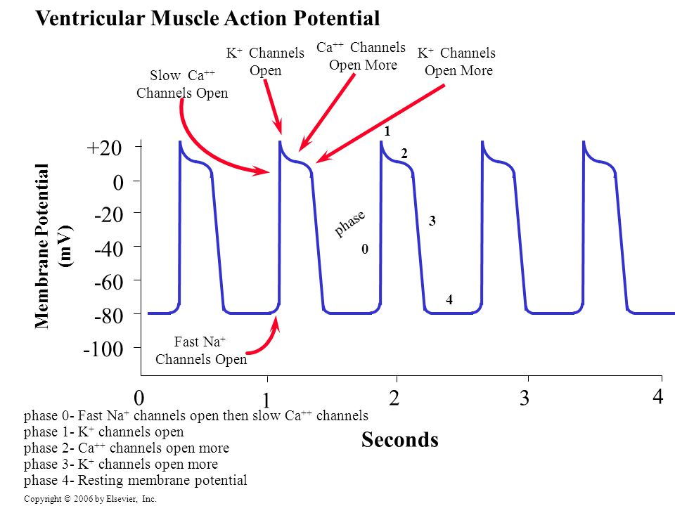 Ventricular Muscle Action Potential
