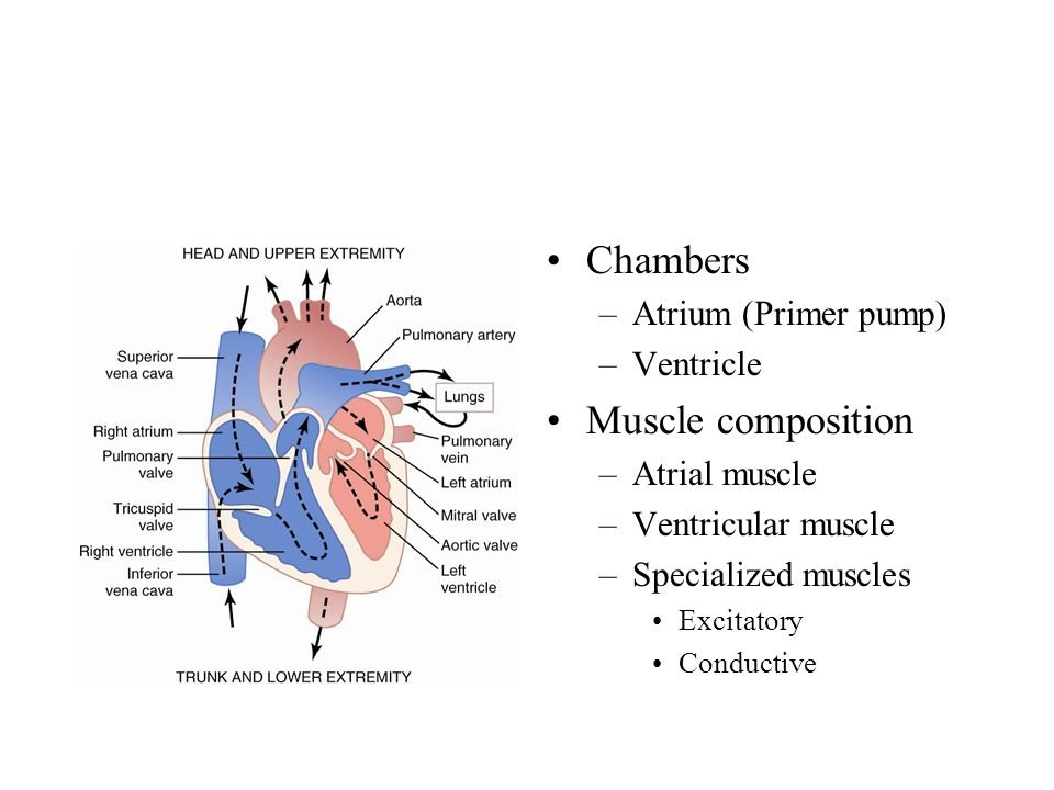 Chambers Muscle composition Atrium (Primer pump) Ventricle