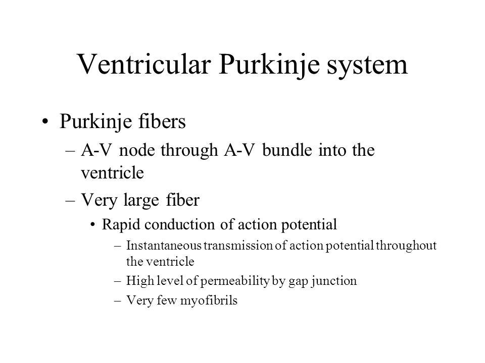 Ventricular Purkinje system