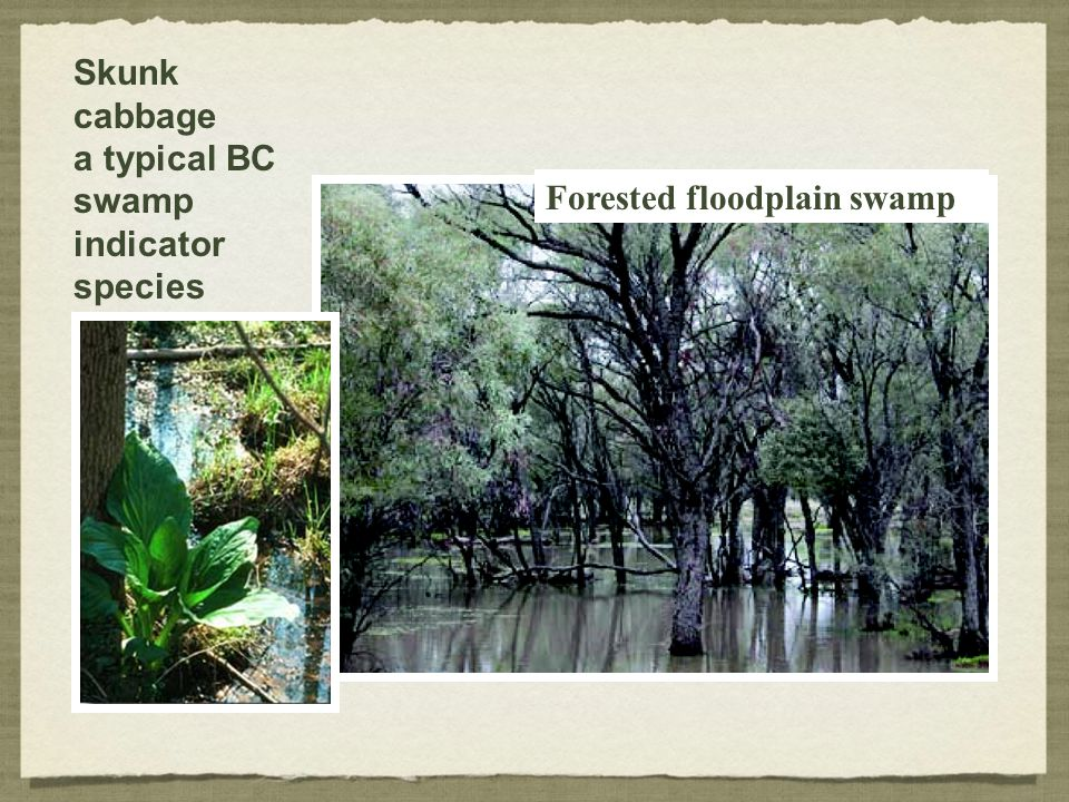 Skunk cabbage a typical BC swamp indicator species Forested floodplain swamp
