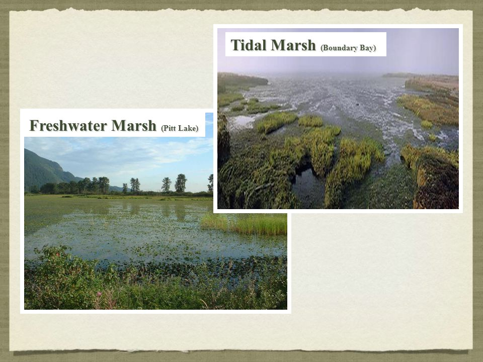 Tidal Marsh (Boundary Bay)