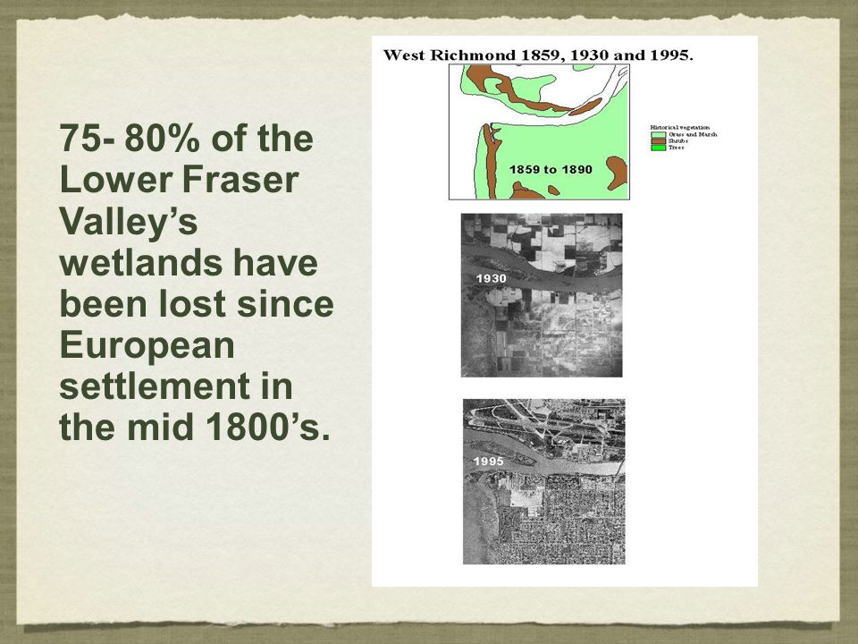75- 80% of the Lower Fraser Valley's wetlands have been lost since European settlement in the mid 1800's.