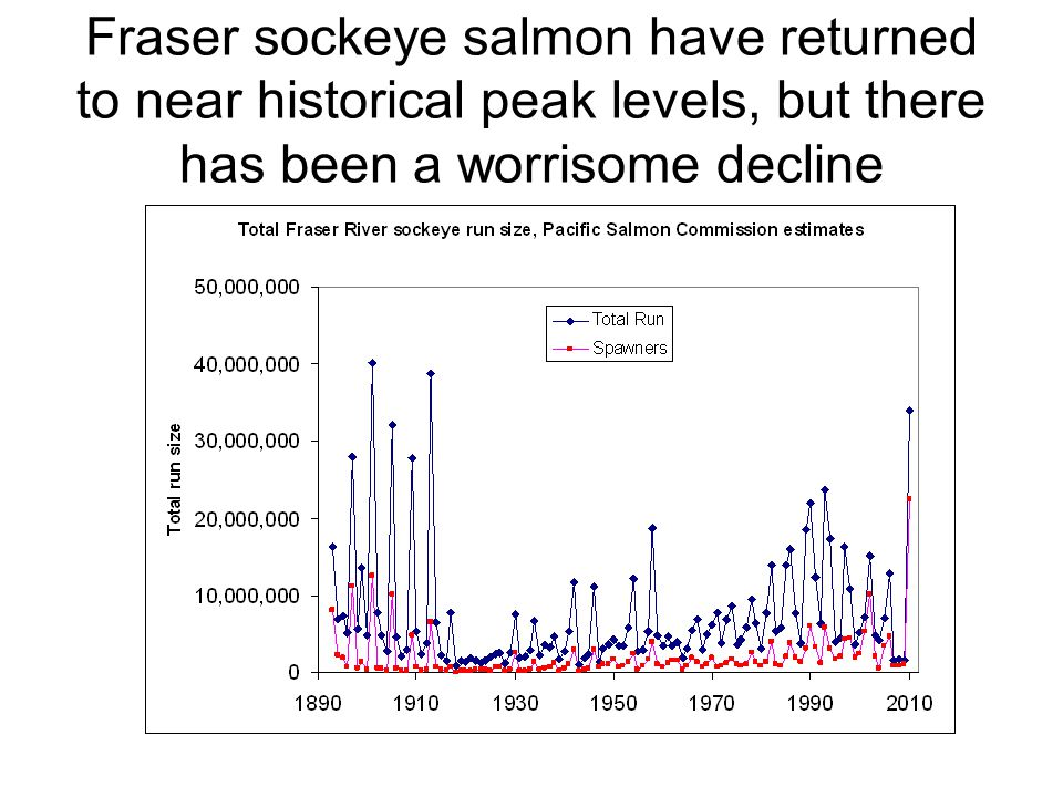 Fraser sockeye salmon have returned to near historical peak levels, but there has been a worrisome decline