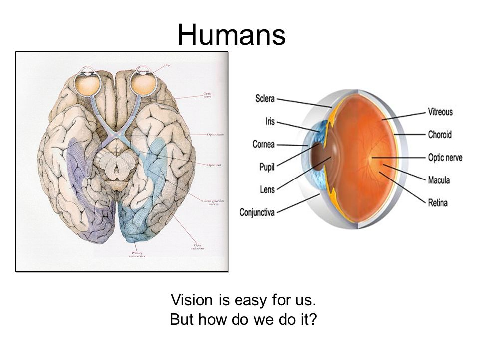 Humans Vision is easy for us. But how do we do it