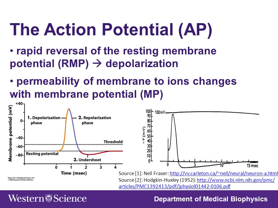 The Action Potential (AP)