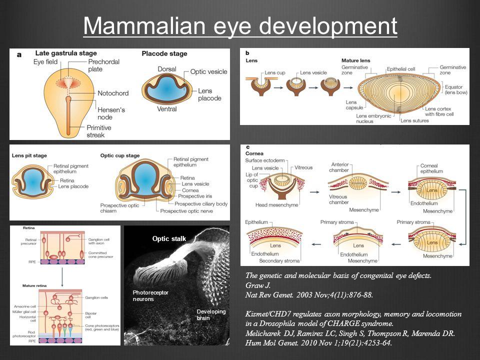 Mammalian eye development