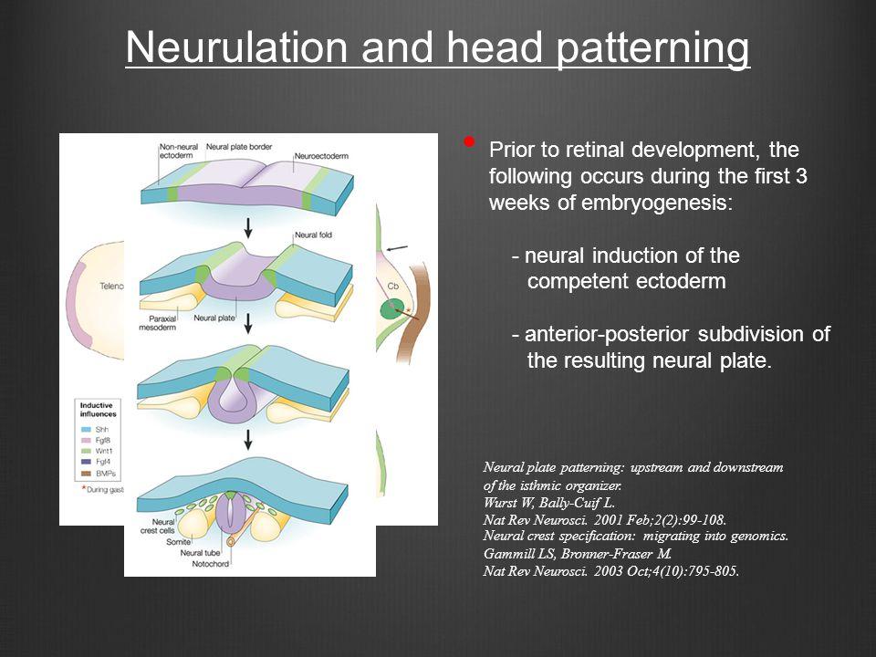 Neurulation and head patterning